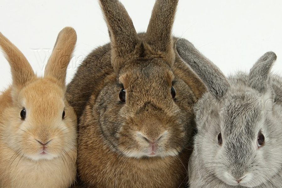 Mother rabbit and four young rabbits of different colours